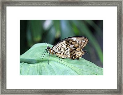 Brown And White Butterfly On Leaf Framed Print by Becky Lodes