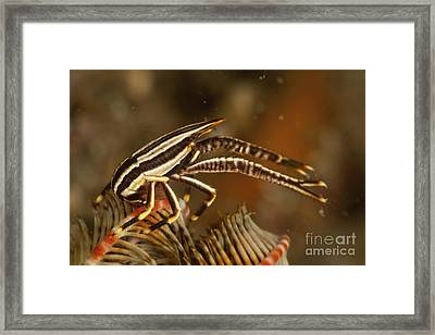 Brown And White Striped Crinoid Squat Framed Print by Mathieu Meur