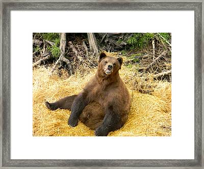 Brown Bear Framed Print by Derek Swift