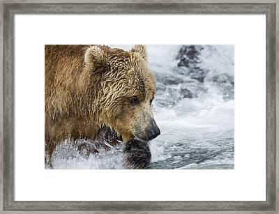 Brown Bear Fishing For Salmon Framed Print by Sergey Gorshkov