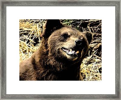 Brown Bear Smiling Framed Print by Derek Swift