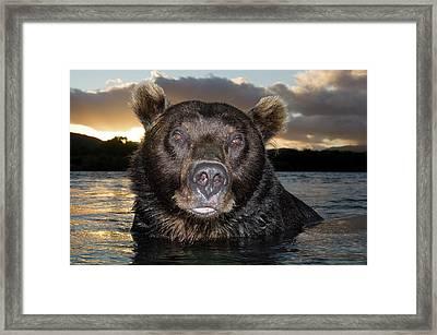 Brown Bear Ursus Arctos In River Framed Print by Sergey Gorshkov