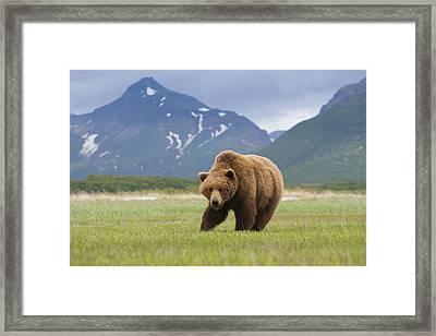 Brown Bears, Katmai National Park, Alaska, Usa Framed Print by Mint Images/ Art Wolfe