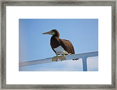 Brown Booby Resting  Framed Print