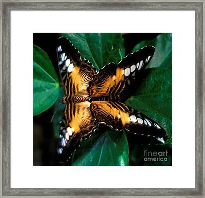 Brown Clipper Butterflies Mating Framed Print by Terry Elniski