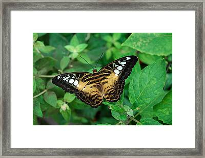 Brown Clipper Butterfly Framed Print