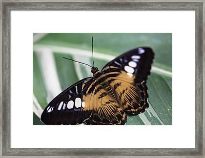 Brown Clipper Framed Print