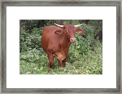 Brown Cow Chewin' Framed Print