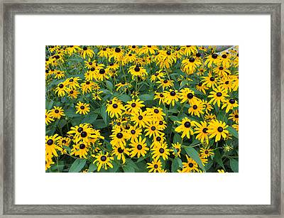 Brown Eyed Susans Framed Print by Jan Amiss Photography