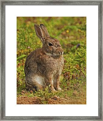 Brown Hare Framed Print by Paul Scoullar