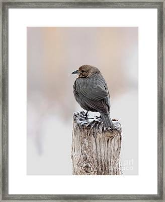 Framed Print featuring the photograph Brown-headed Cowbird by Jack R Brock