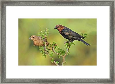 Brown Headed Cowbird Pair Framed Print