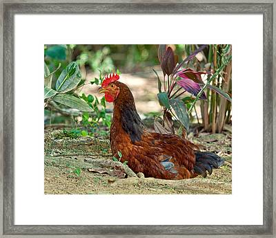 Framed Print featuring the photograph Brown Hen by Susi Stroud