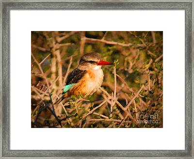 Brown-hooded Kingfisher South African Kingfisher Framed Print