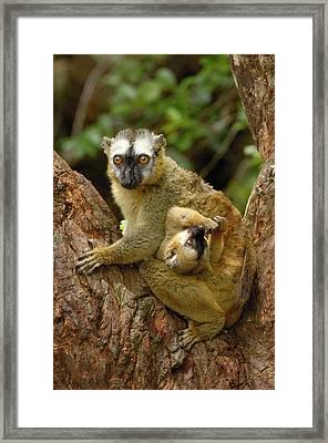Brown Lemur Lemur Fulvus Female Framed Print by Pete Oxford