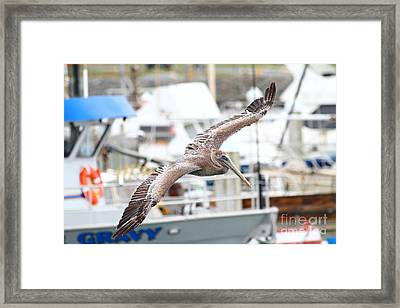 Brown Pelican . 7d8228 Framed Print by Wingsdomain Art and Photography