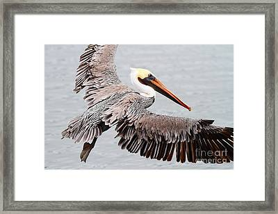 Brown Pelican . 7d8234 Framed Print by Wingsdomain Art and Photography