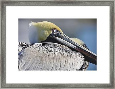 Brown Pelican Framed Print by Adam Romanowicz