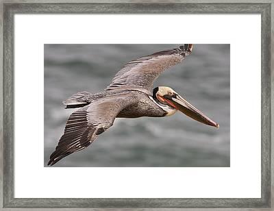 Brown Pelican  In Breeding Plumage Framed Print by Sebastian Kennerknecht