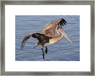 Brown Pelican In Flight Framed Print by Paulette Thomas