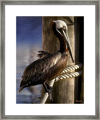 Framed Print featuring the photograph Brown Pelican In Key West 9l by Gerry Gantt