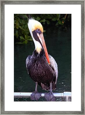 Framed Print featuring the photograph Brown Pelican Islamorada by Maureen E Ritter