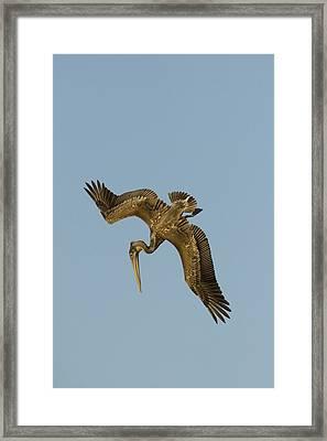 Brown Pelican Juvenile Starting A Dive Framed Print by Sebastian Kennerknecht