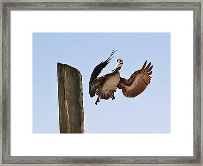 Brown Pelican Landing Framed Print by Paulette Thomas