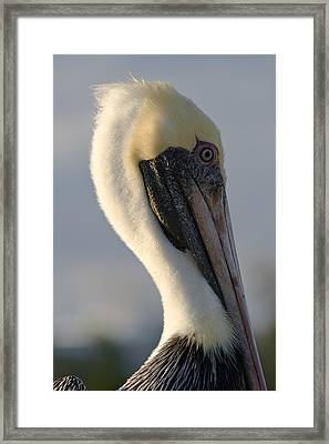 Framed Print featuring the photograph Brown Pelican Profile by Ed Gleichman