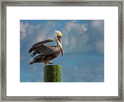Brown Pelican Ready To Fly Framed Print