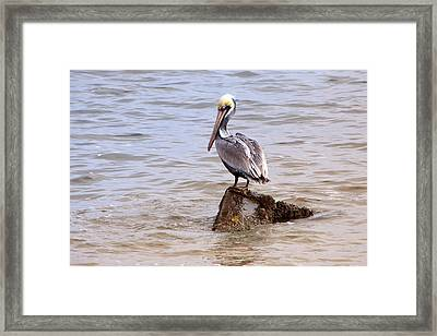 Framed Print featuring the photograph Brown Pelican by Susi Stroud
