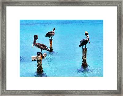 Brown Pelicans In Aruba Framed Print by Thomas R Fletcher
