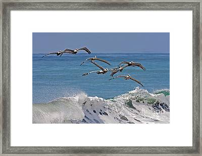 Brown Pelicans Framed Print