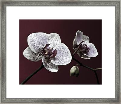 Brown Purple White Orchids Flower Macro - Flower Photograph Framed Print by Artecco Fine Art Photography