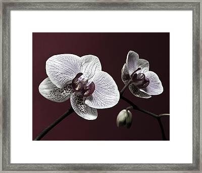 Brown Purple White Orchids Flower Macro - Flower Photograph Framed Print