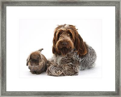 Brown Roan Italian Spinone Dog Framed Print