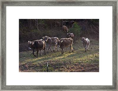 Brown Swiss Cows Coming Home Framed Print