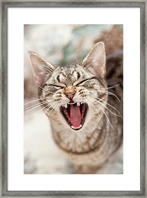 Brown Tabby Cat Yawning And Showing Teeth Framed Print by Kathryn Froilan