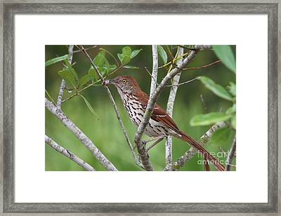Brown Thrasher Snacking Framed Print by Jennifer Zelik