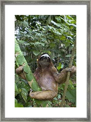 Brown Throated Three Toed Sloth Male Framed Print by Suzi Eszterhas