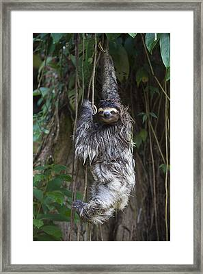 Brown Throated Three Toed Sloth Mother Framed Print by Suzi Eszterhas