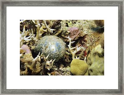 Bubble Alga Framed Print by Alexis Rosenfeld