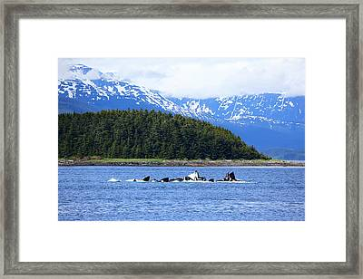 Bubble Net Fishing Framed Print