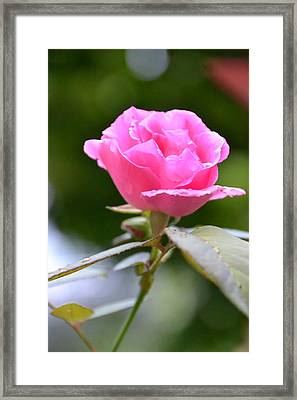 Bubblegum Rose Framed Print by Bonnie Myszka