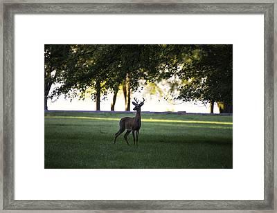 Buck At Dawn Framed Print