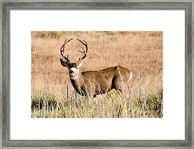 Framed Print featuring the photograph Buck by Cheryl McClure