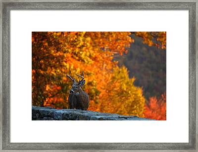 Buck In The Fall 02 Framed Print