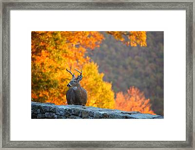 Buck In The Fall 04 Framed Print