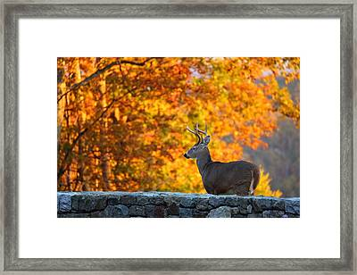 Buck In The Fall 05 Framed Print by Metro DC Photography