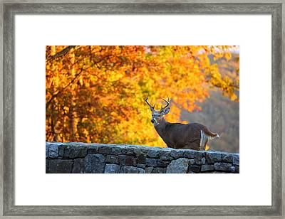 Buck In The Fall 07 Framed Print by Metro DC Photography